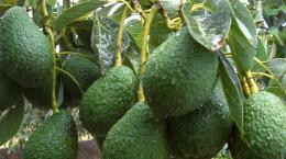 avocado 2_ContentPage