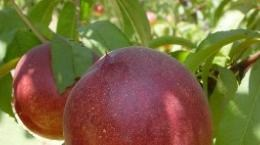 stonefruit_ContentPage